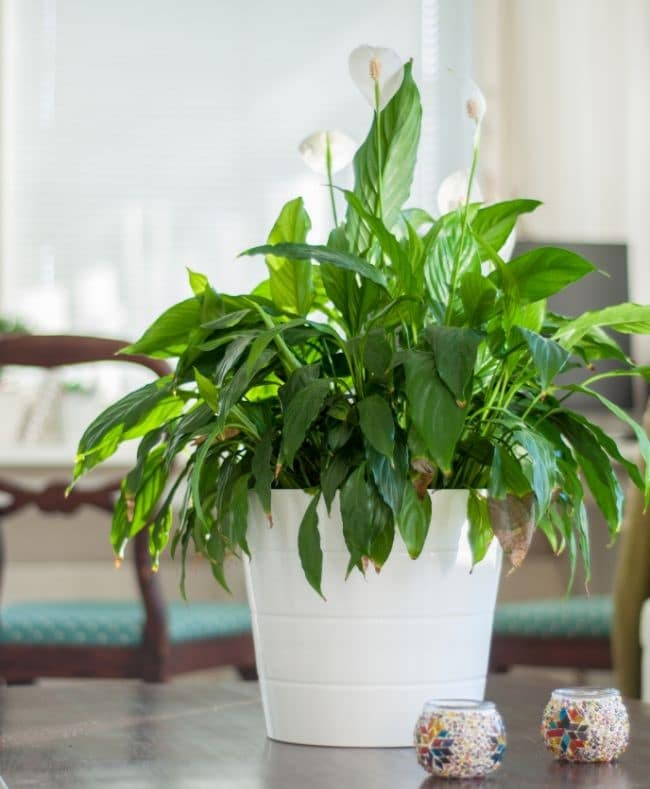 how to water a peace lily brown tips