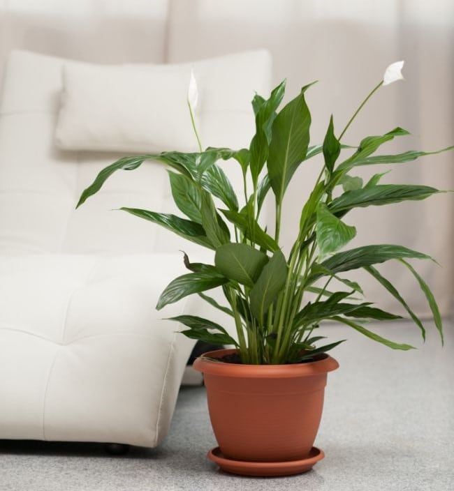 healthy peace lily in pot
