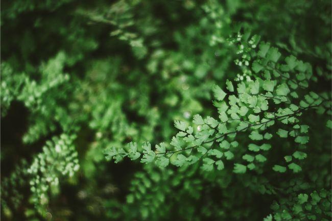 maidenhair fern frond detail
