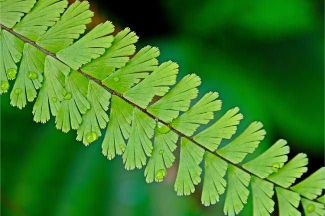 maidenhair fern adiantum leaf closeup