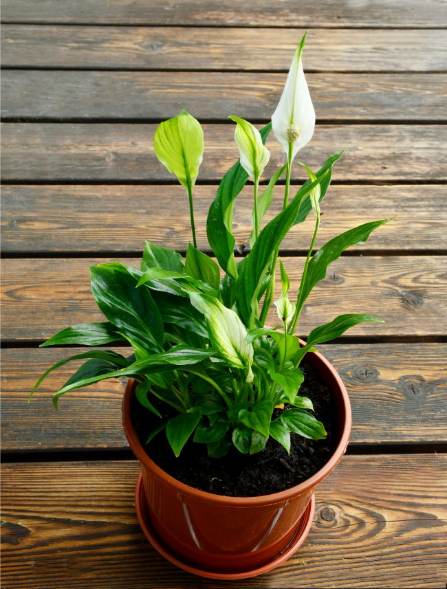 a healthy peace lily plant