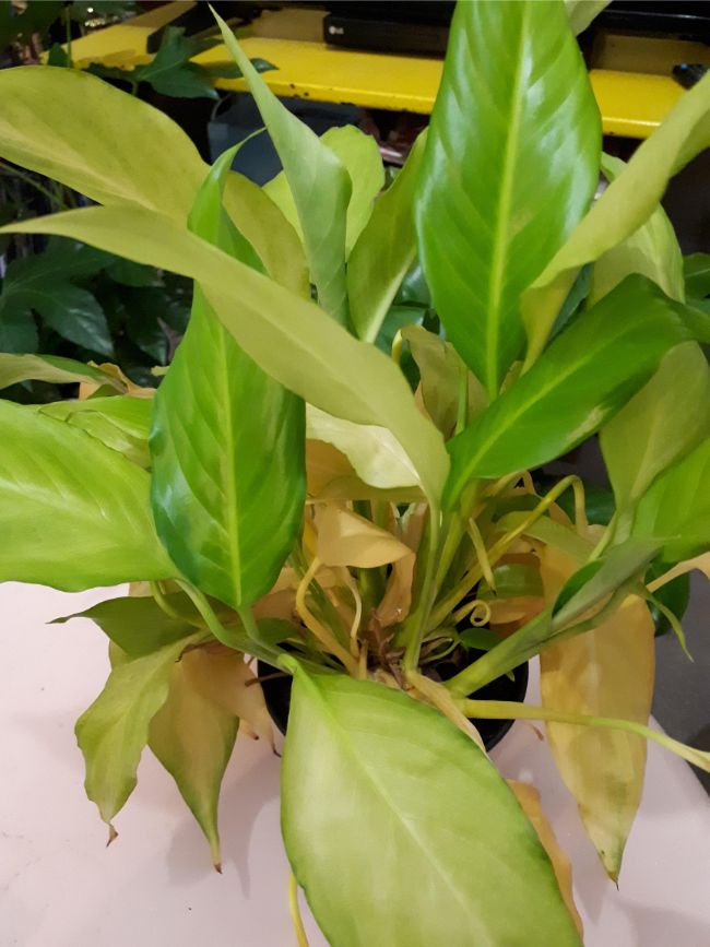 overwatered peace lily with yellow leaves