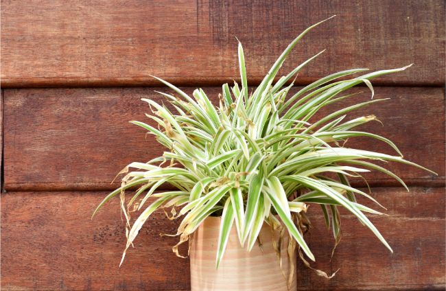 spider plant yellow leaves chlorophytum comosum