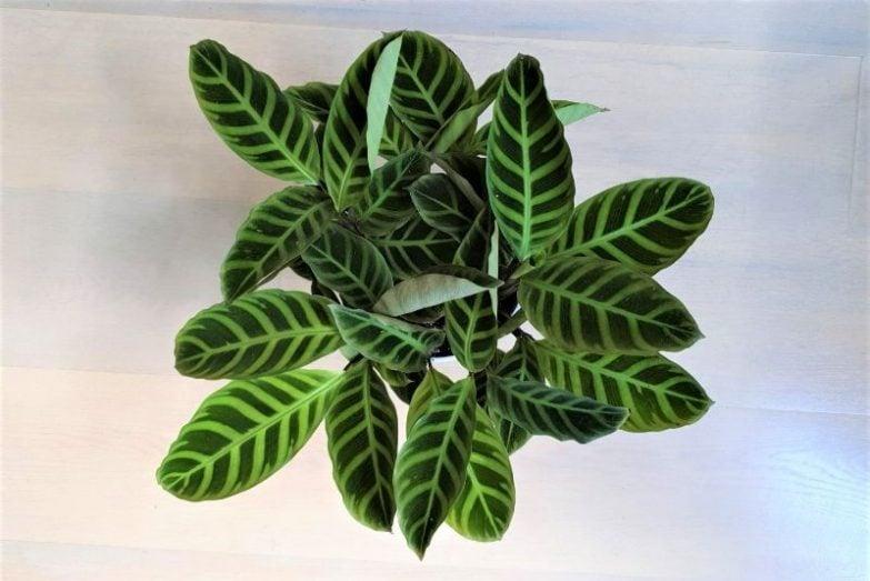 calathea leaves curling