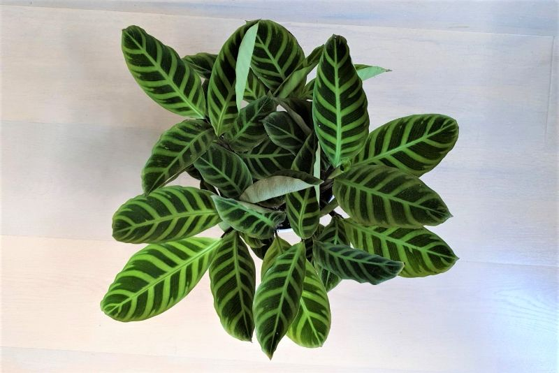 Why Are My Calathea Leaves Curling Causes And Solutions Smart Garden Guide