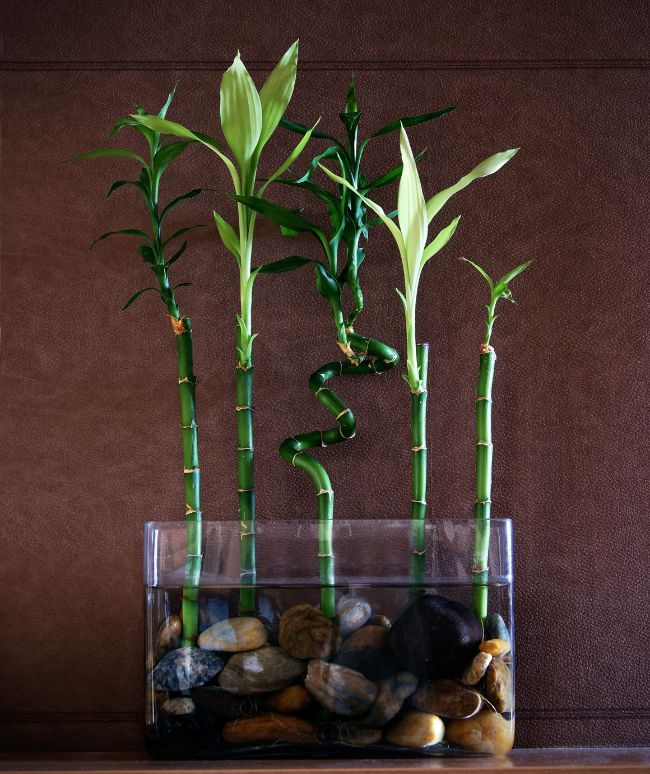 lucky bamboo Dracaena sanderiana north facing window plants