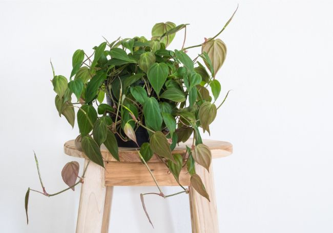 heartleaf philodendron care philodendron scandens