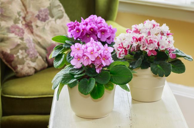 group of african violets saintpaulia blooming