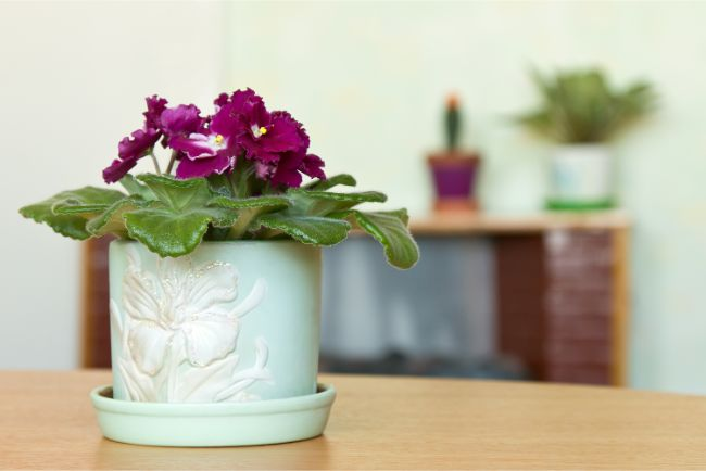 african violet in small pot blooming