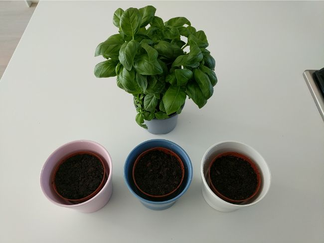 soil preparation for basil propagation