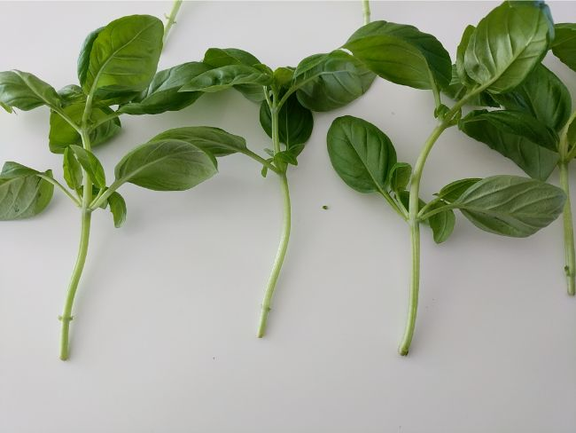 how to propagate basil