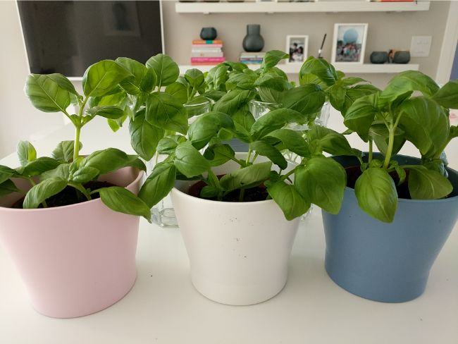 basil plants soil propagation