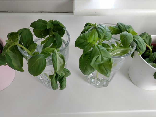 basil plant wilting after starting water propagation