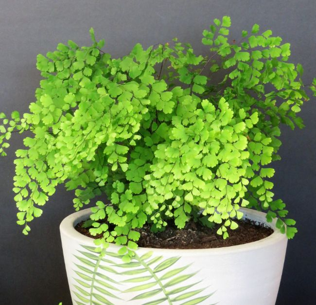 Adiantum Maidenhair Fern north facing window plants