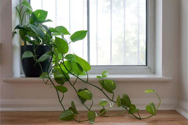 Philodendron Hederaceum North Facing Window Plants
