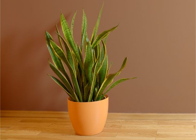 Sansevieria Trifasciata North Facing Window Plants