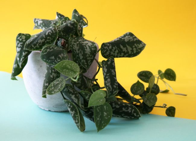 scindapsus pictus satin pothos