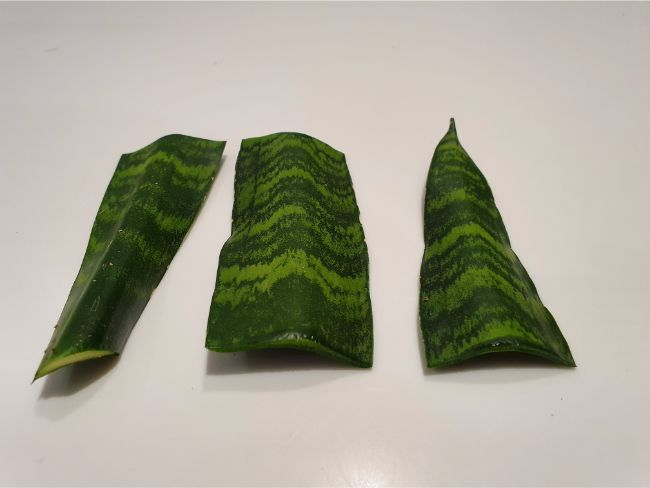 Snake plant leaf cuttings ready to be planted in soil
