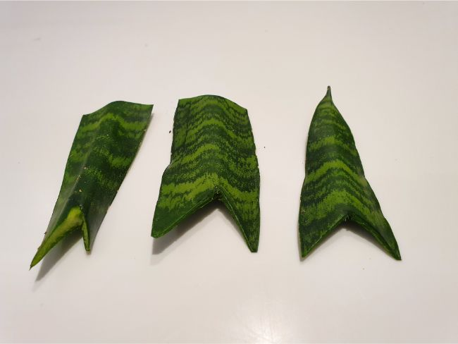 v shape cut in snake plant leaves