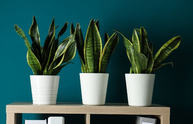 Snake Plant Propagation 4 Ways To Grow Snake Plant Cuttings Smart Garden Guide