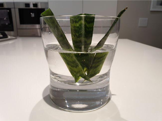 Snake plant propagation in water