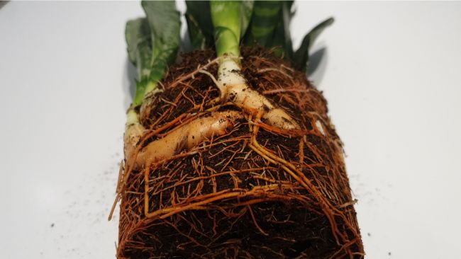 snake plant roots and rhizome ready for division