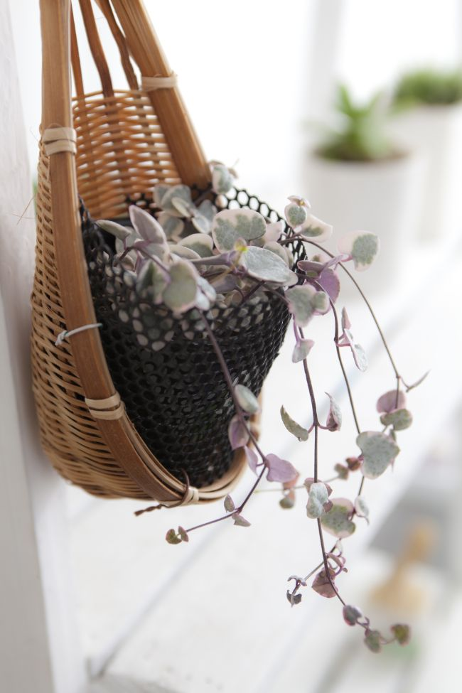 string of hearts plant care ceropegia woodii as hanging plant