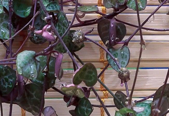 ceropegia woodii tubers