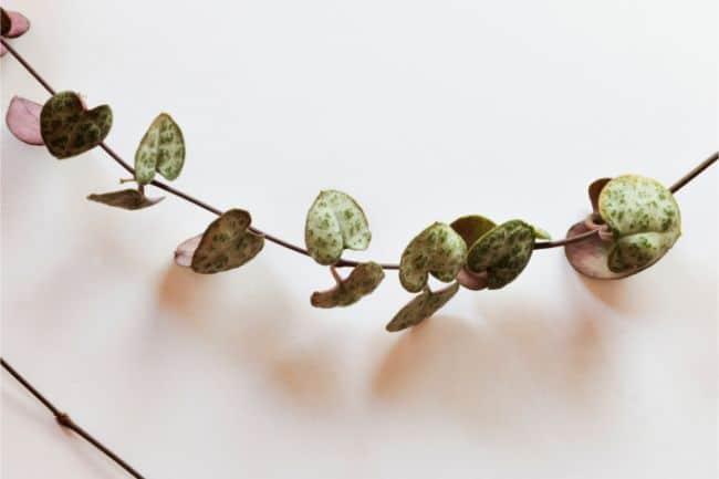 string of hearts plant care ceropegia woodii leaf closeup