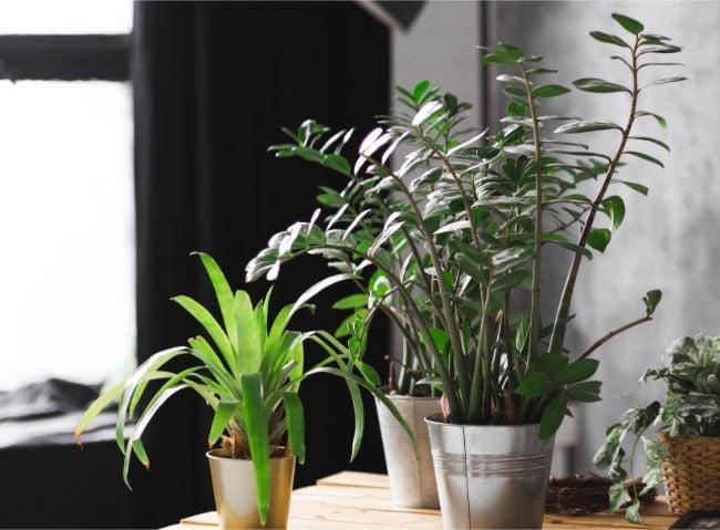 zz plant stalks falling over zamioculcas zamiifolia