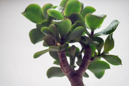 Crassula ovata 'Blue Bird'