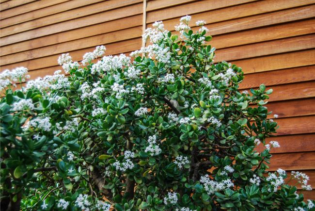 Beautiful jade plant blooming outdoors