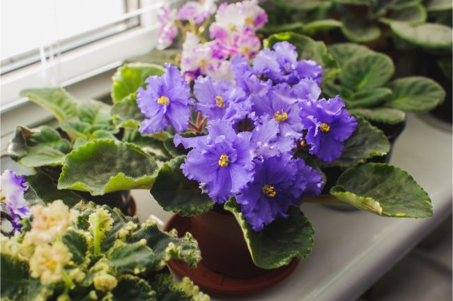african violets flowering houseplants