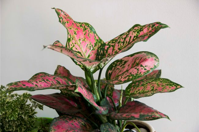 chinese evergreen aglaonema large low light houseplants