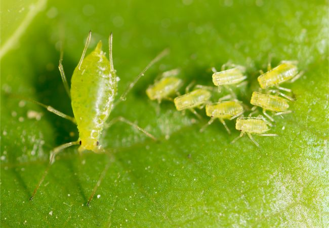 aphids on houseplant leaf