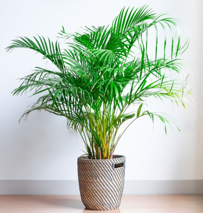 areca palm east facing window plants