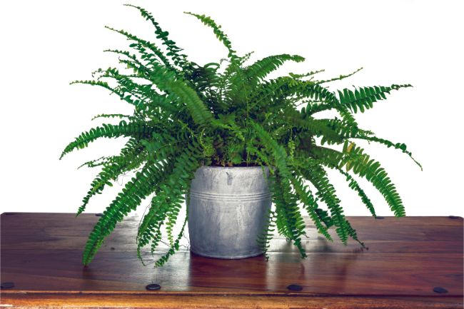 boston fern east facing window plants