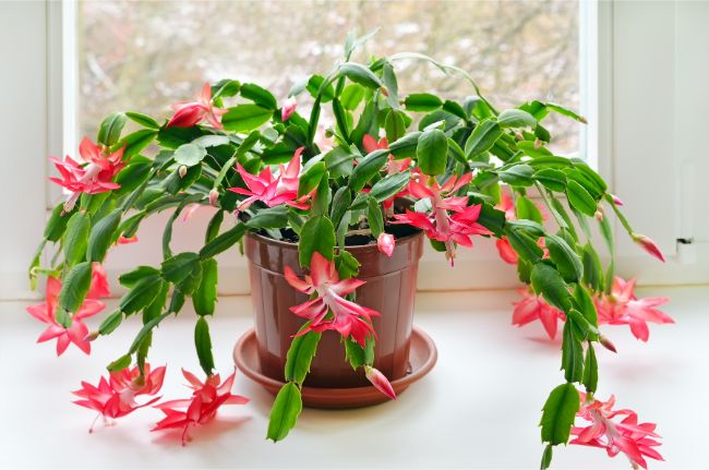 christmas cactus blooming indoors
