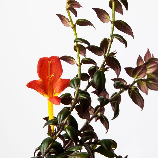Goldfish Plant Columnea gloriosa flowering houseplants