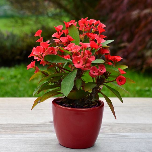 crown of thorns plant flowering indoor plants