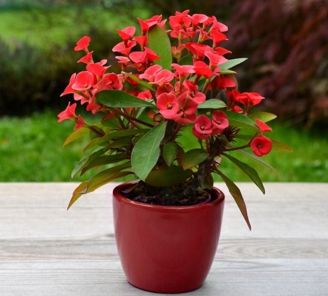 crown of thorns plant care euphorbia milii