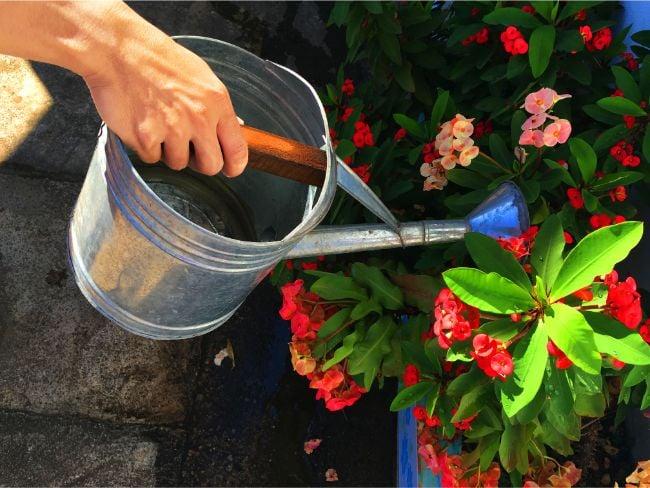 watering crown of thorns plant euphorbia milii