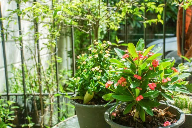 crown of thorns plant care euphorbia milii outside