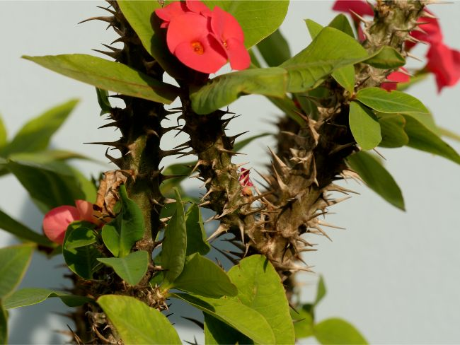 thorns on crown of thorns plant euphorbia milii