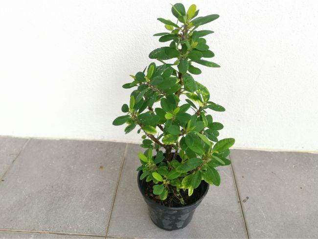 crown of thorns plant not flowering