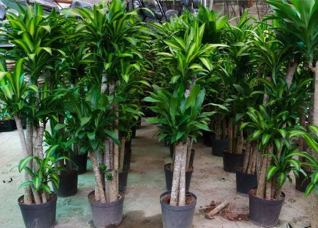 Corn plant Dracaena Fragrans large low light houseplants