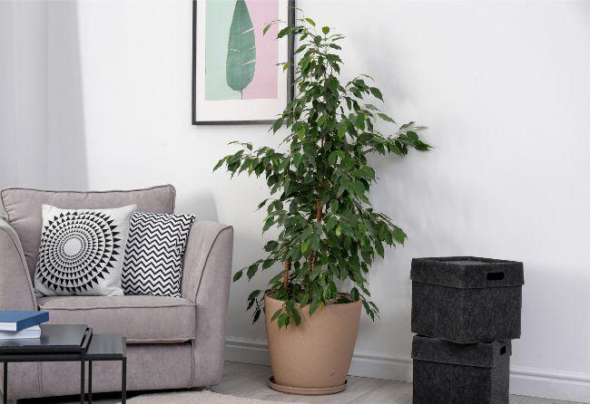 Weeping Fig Ficus Benjamina large low light houseplants