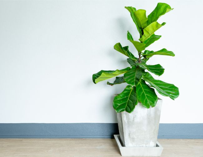 fiddle leaf fig ficus lyrata east facing window plants