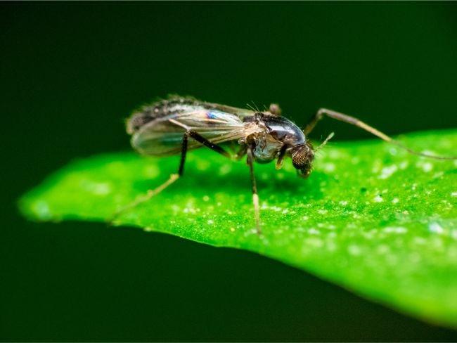 fungus gnat on houseplant leaf