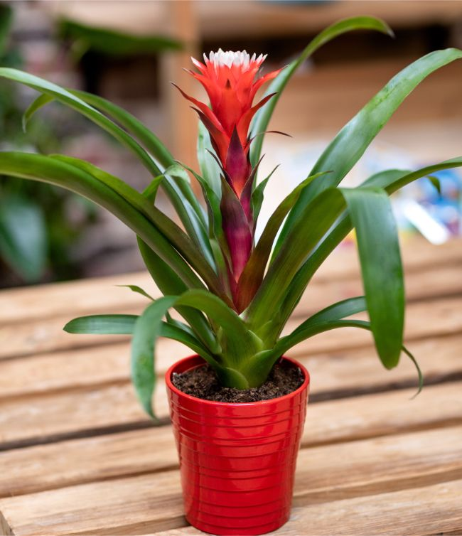 guzmania flowering houseplants